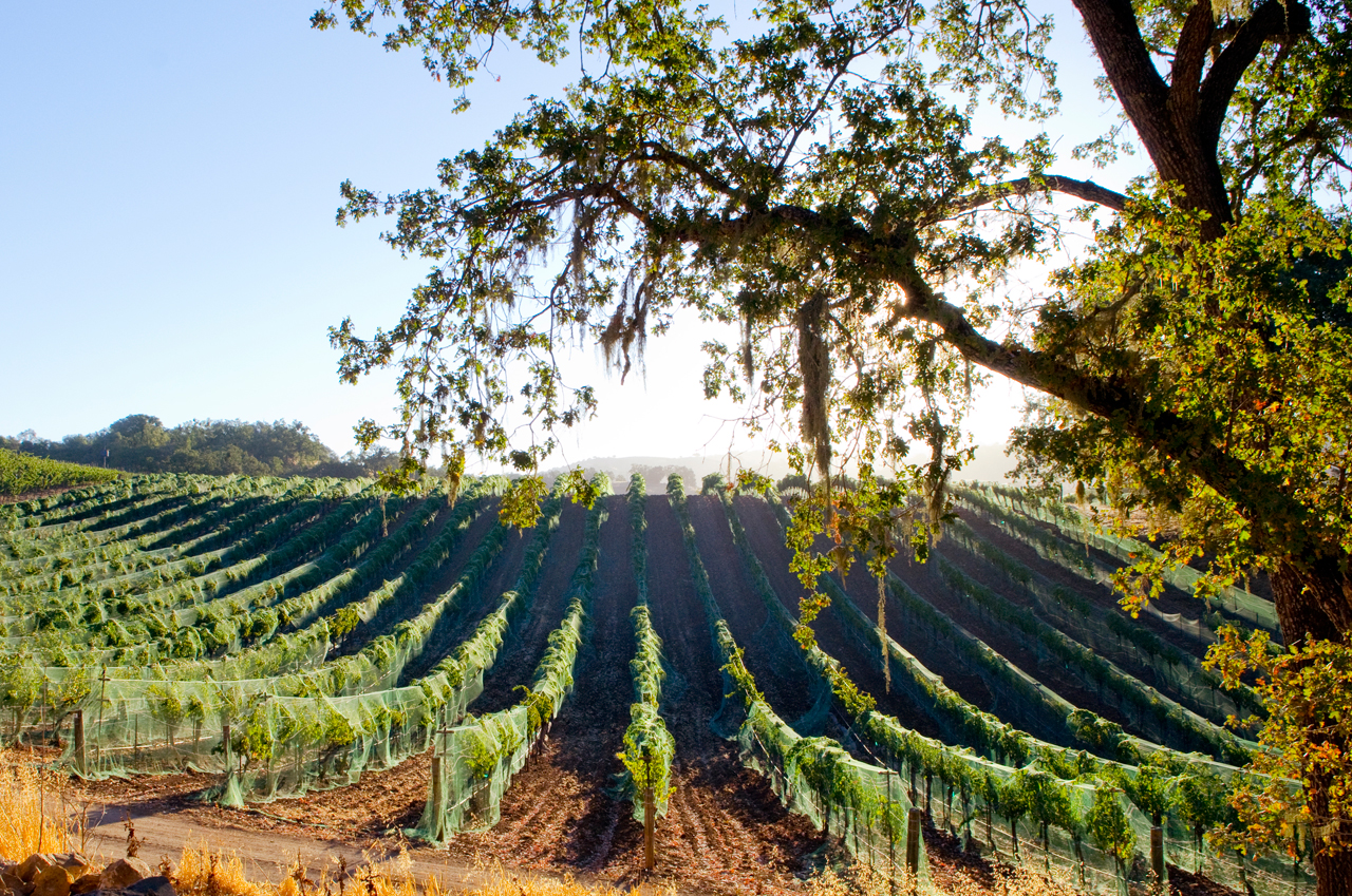 netted-vineyard