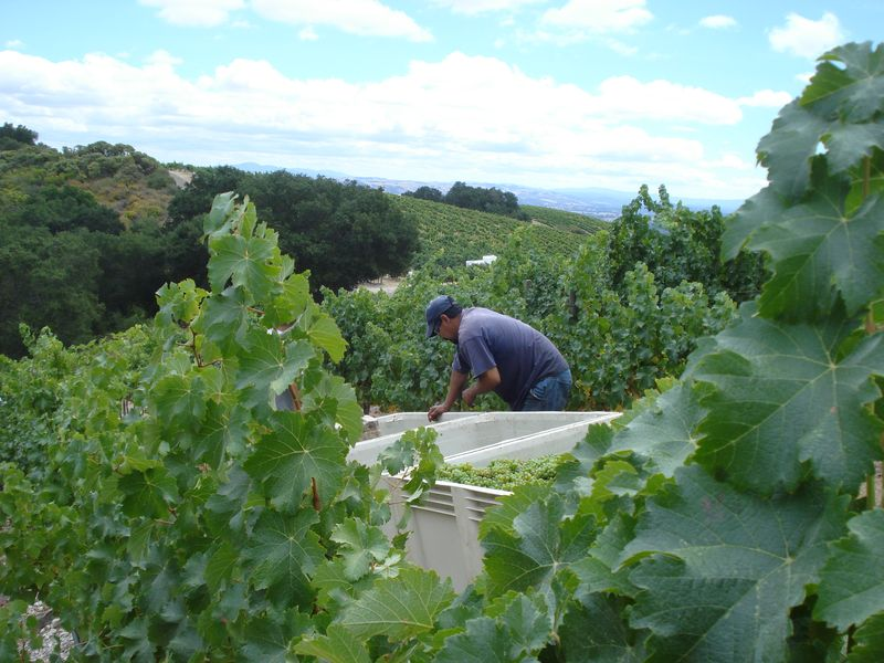 Sauvignon Blanc Grapes being harvested at JUSTIN Vineyards & Winery